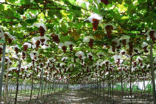 grapes-500x334