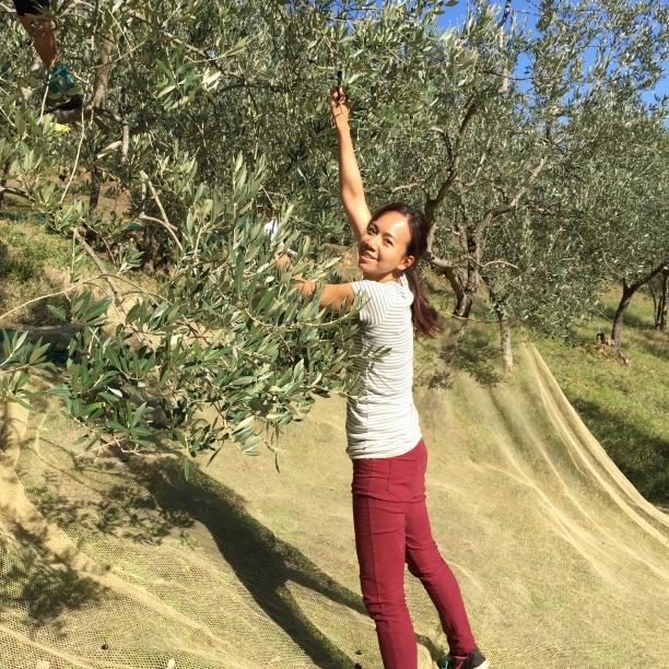 2015年Jessica在Figline Valdarno採橄欖照片。/圖當事者提供